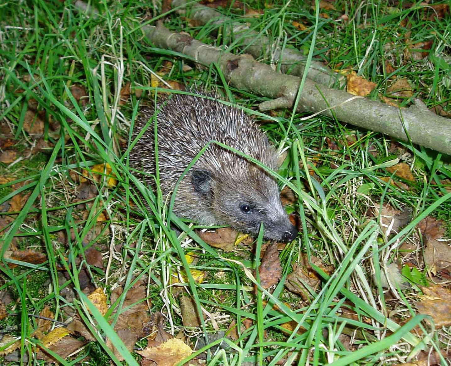 Hoglet heading back to the wild