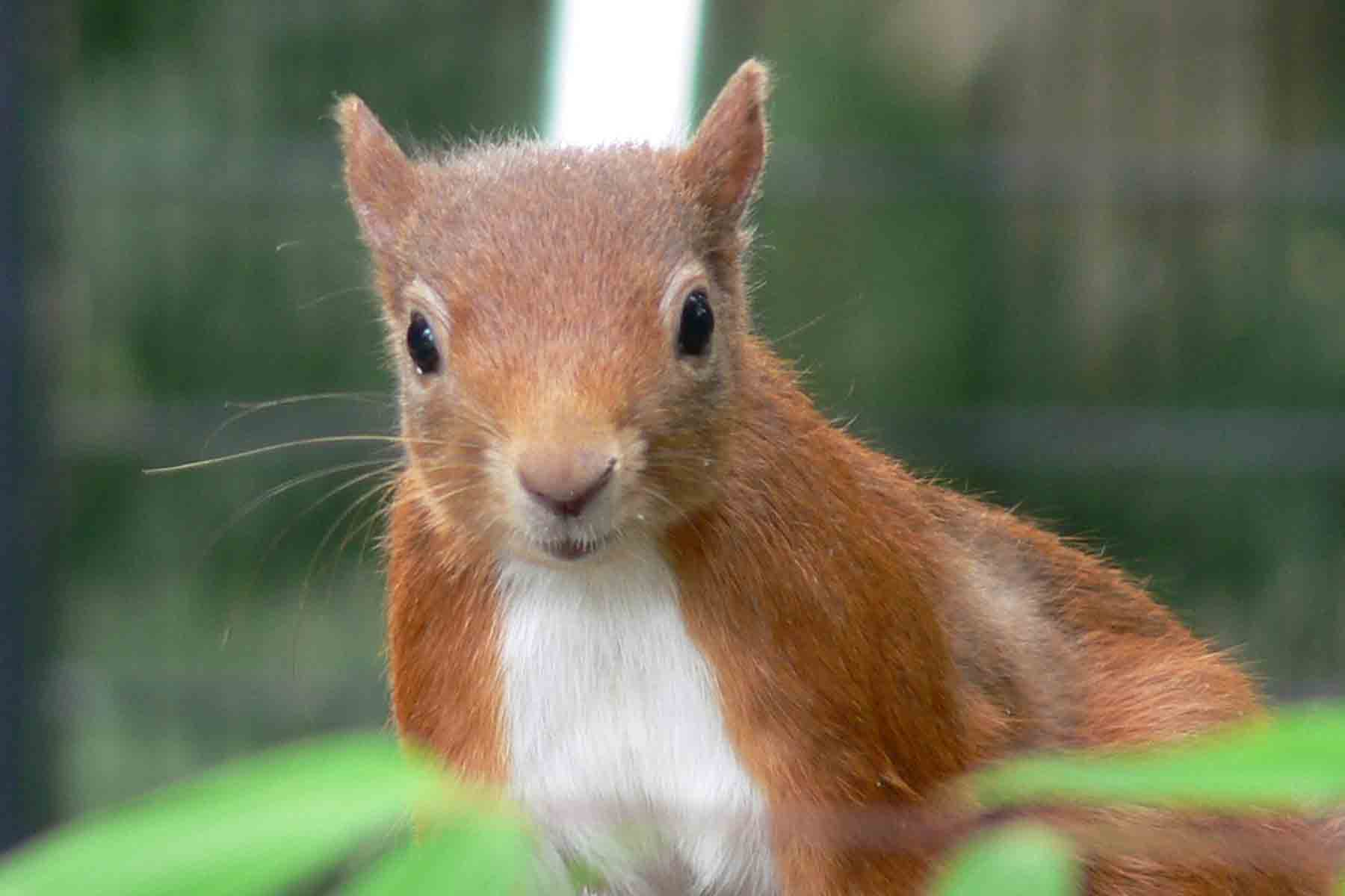 Red Squirrel - August 2012