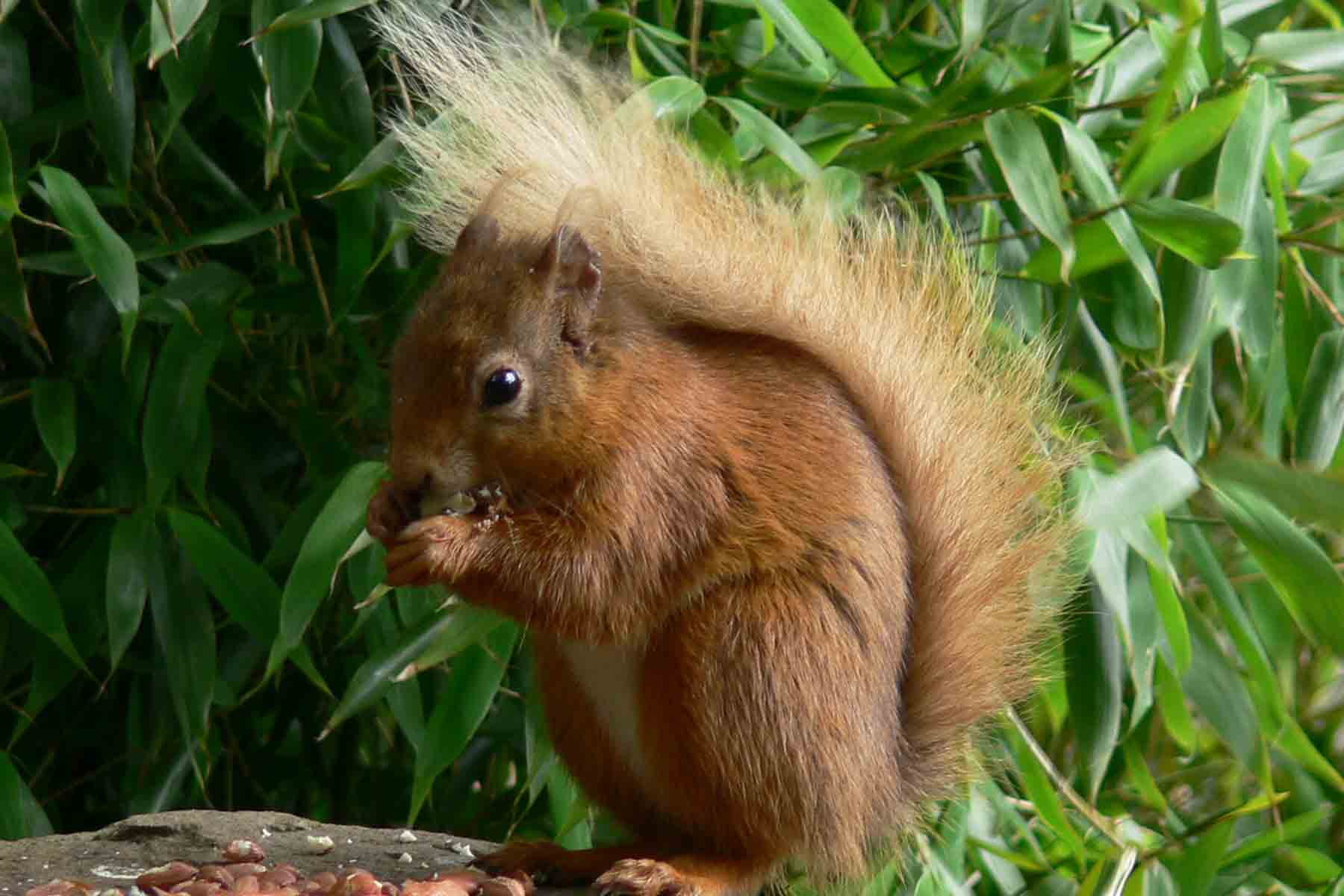 Red Squirrel - July 2012