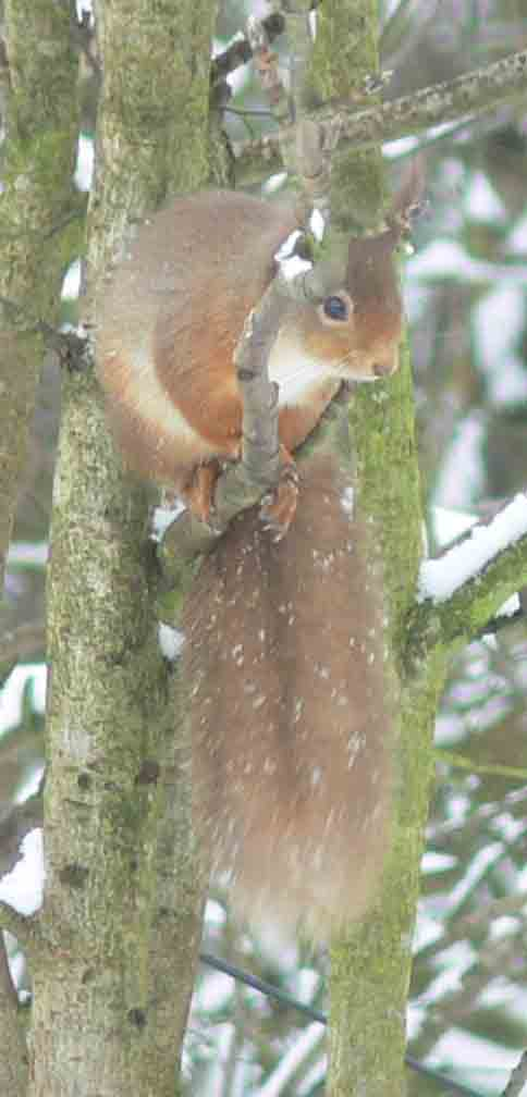 Red Squirrel - November 2012
