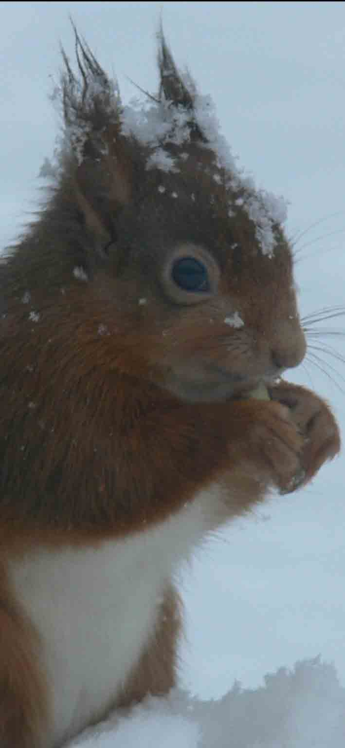 Red Squirrel - February 2012