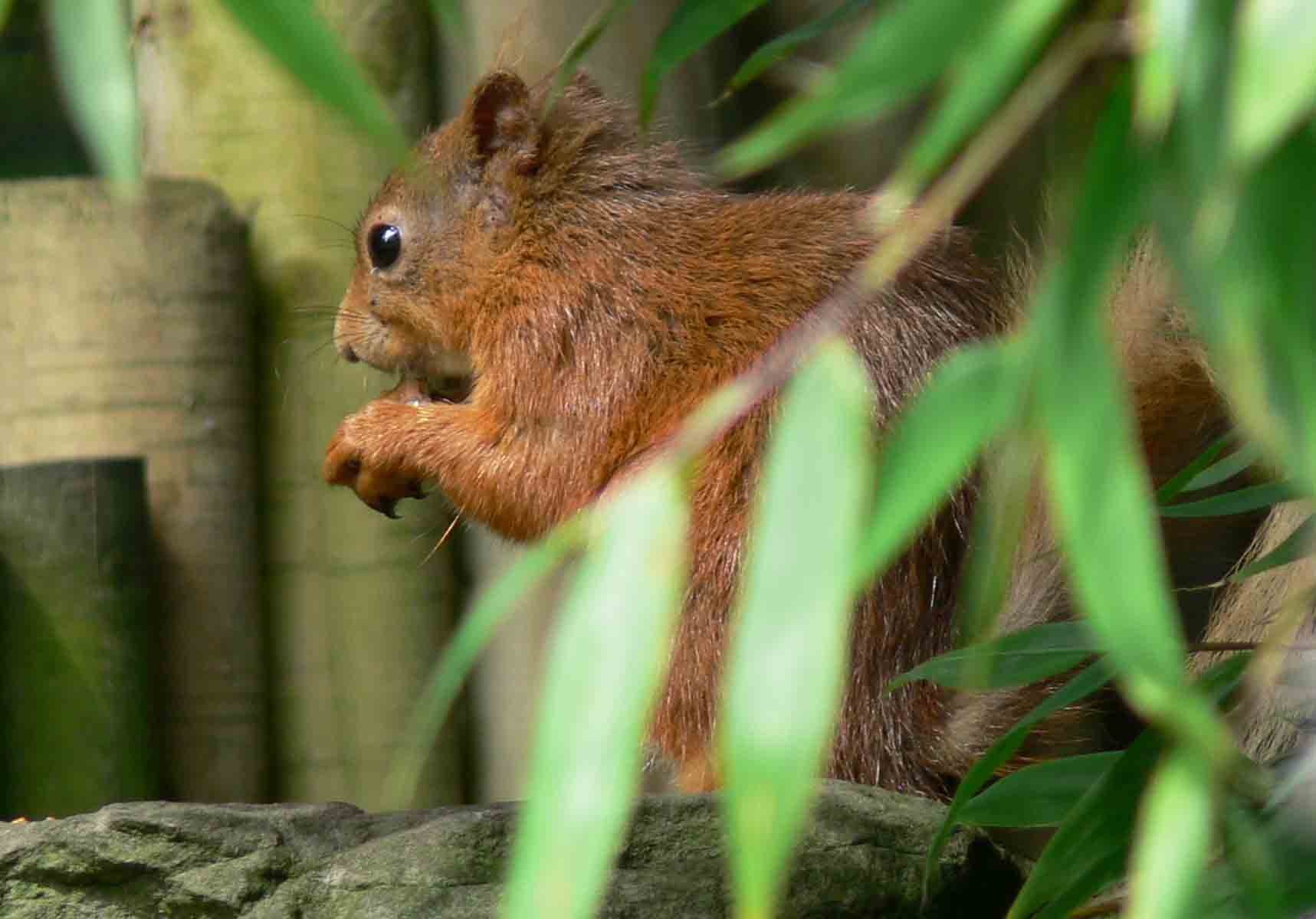 Red Squirrel - September 2012