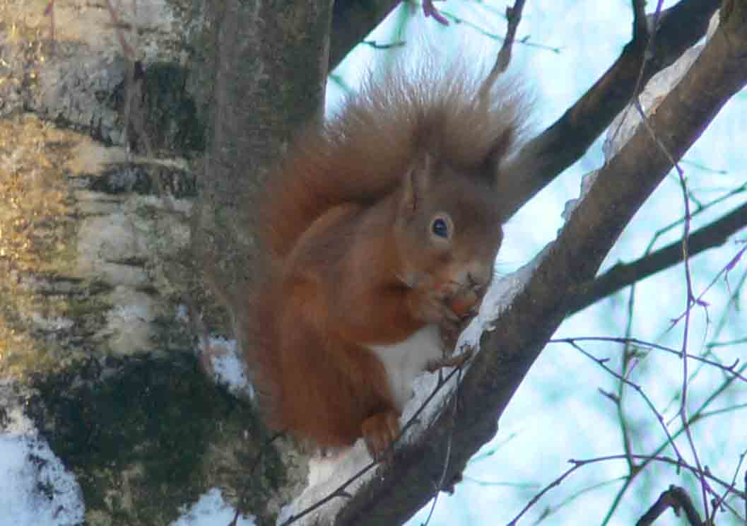 Red Squirrel - January 2012