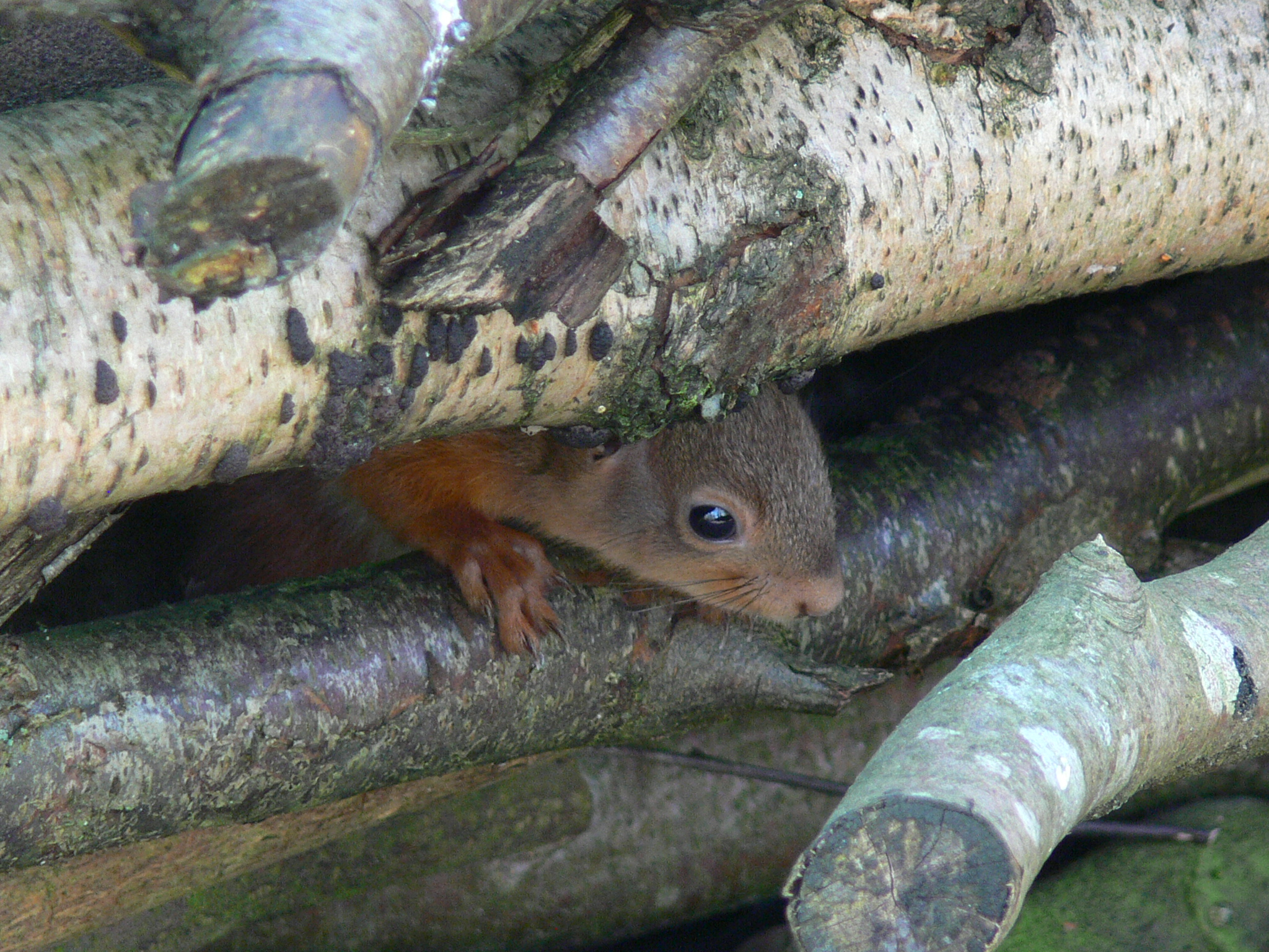 Red Squirrel - January 2014