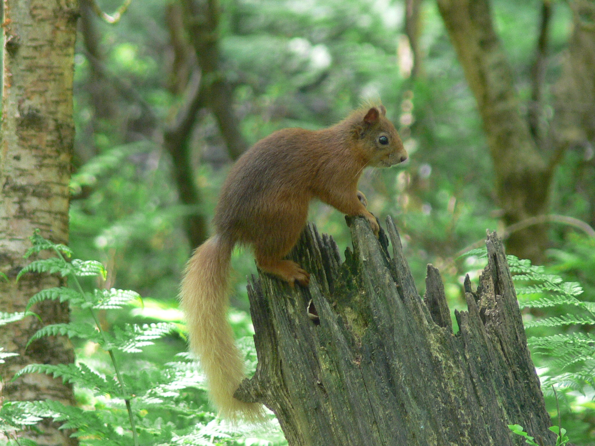 Red Squirrel on Tree Trunk - August 2014