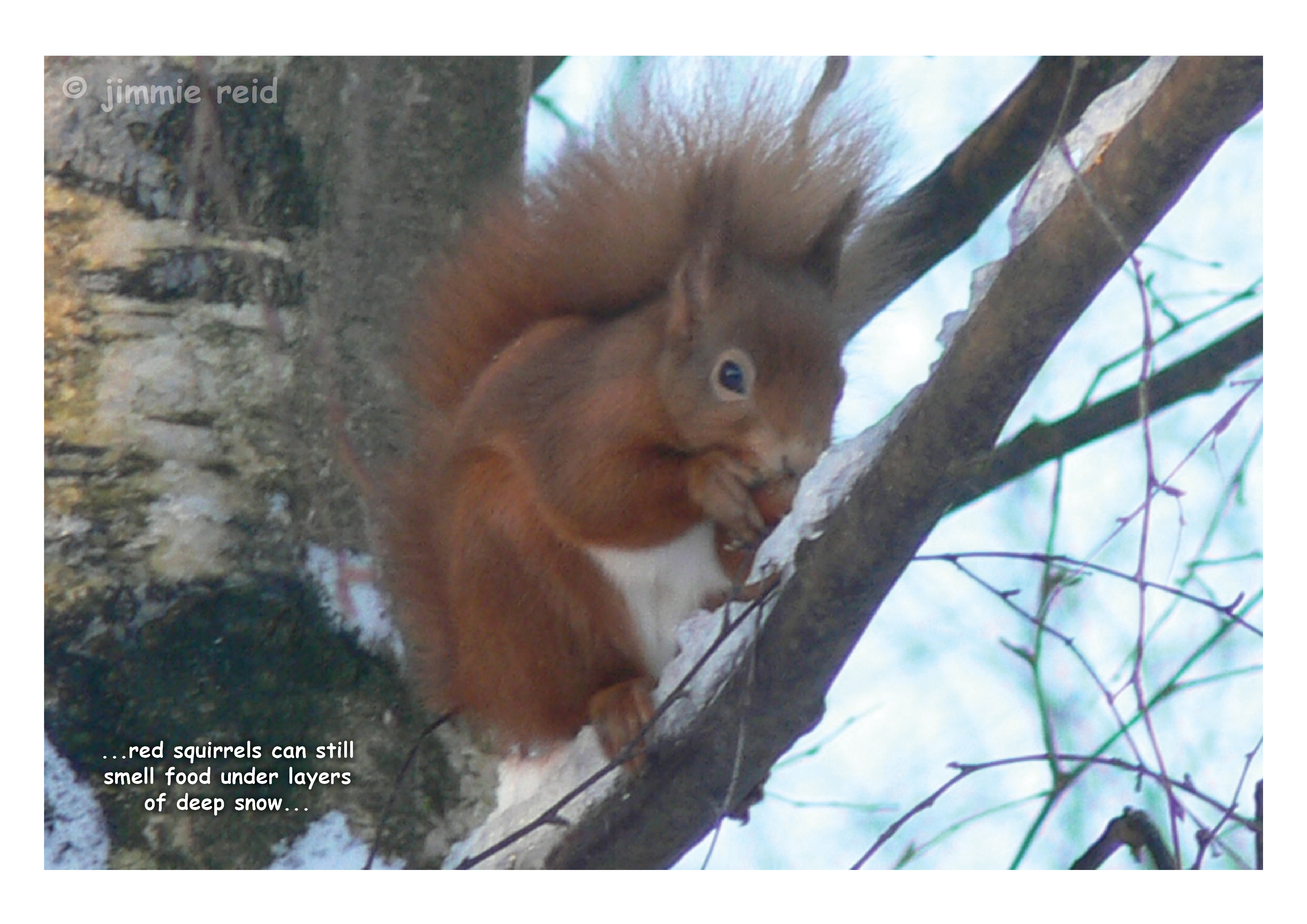 Red Squirrel in Frost - November 2014
